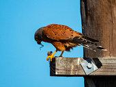 Rock Kestrel (Falco rupicolus) eating prey.