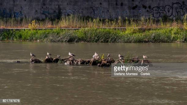 A rock outcrop emerges in the Tiber River under the Garibaldi Bridge with the low water level due to the drought on July 24 2017 in Rome Italy...