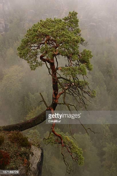 rock arbre