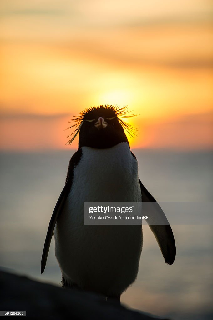 Rockhopper penguin at sunset