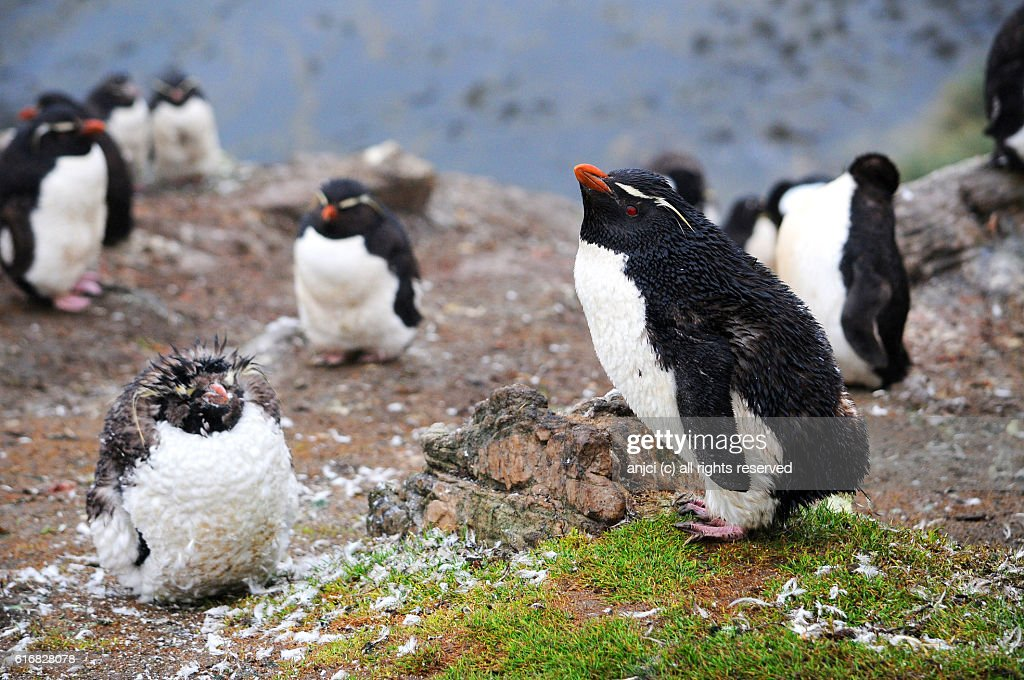 Rockhopper penguins moulting on Pebble Island / Falkland Islands : Stock Photo