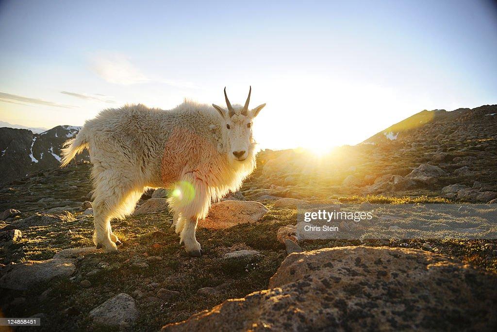 Rocky Mountain Goat on a mountain. : Stock Photo
