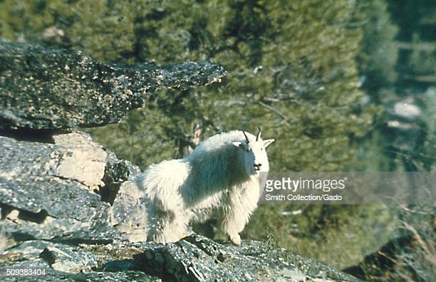 Rocky Mountain goat prominent host of the adult Rocky Mountain wood tick Dermacentor andersoni the vector responsible for transmitting the Coltivirus...