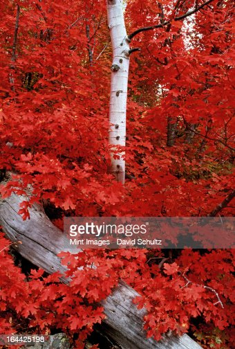 Rocky mountain maple trees and the white bark of aspens in the Wasatch National forest. : Stock Photo