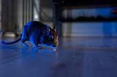 rodent degu plays in room