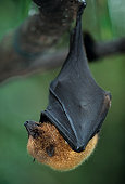 Rodriguez fruit bat hanging upside down from branch, Mauritius, close-up