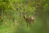 A Roe buck (capreolus capreolus) in a forest