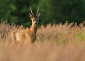 A adult Roe Deer Buck is standing in tall grass. The golden hour evening sun is striking its shiny fur. The buck is confident and looks at the camera is if it has nothing to fear.