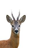Roe deer buck portrait isolated on white.