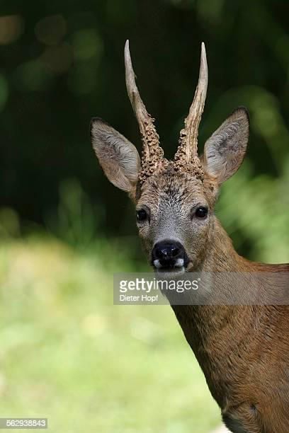 Roe Deer -Capreolus capreolus-, buck, captive, Sweden