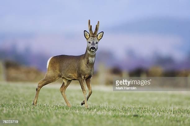 Roe Deer, Capreolus capreolus, buck in velvet, Scotland