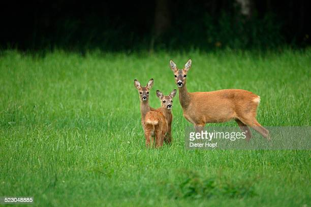 Roe deer -Capreolus capreolus-, doe with two six-week-old fawns, Allgaeu, Bavaria, Germany, Europe