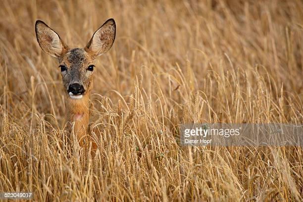Roe deer -Capreolus capreolus- in a barley field, Allgaeu, Bavaria, Germany, Europe