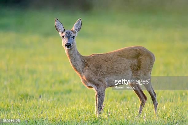 Roe Deer -Capreolus capreolus- standing on a meadow, North Rhine-Westphalia, Germany