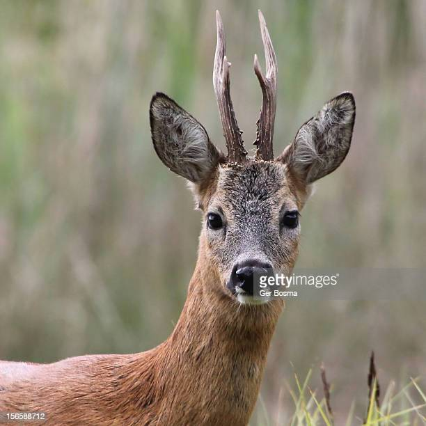 Roe Deer Close Up