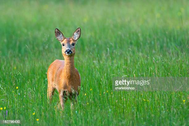 Roe Deer Doe in the late evening with copy space