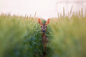 Roe deer doe / Capreolus capreolus / standing in the middle of line in the wheat, blurred background, horizontal orientation