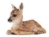 Roe deer Fawn lying down (15 days old)