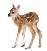 Roe deer Fawn (15 days old)