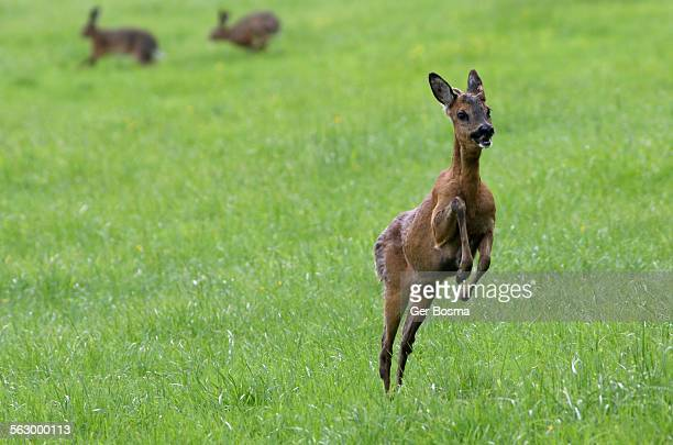 Roe Deer & Hare-Brained Hares