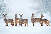 Wild roe deer herd during snowfall