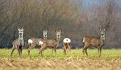 Wild roe deer herd in a field