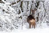 Roe deer in a snowy forest. Capreolus capreolus. Wild roe deer in winter nature.