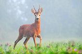 Photo of male roe deer in early morning fog