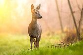 Wild roe deer lit by early morning sun