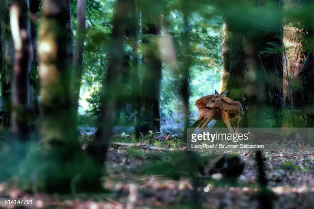 Roe Deer in the woods