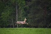 Roe Deer jumping on the meadow, rainy day.