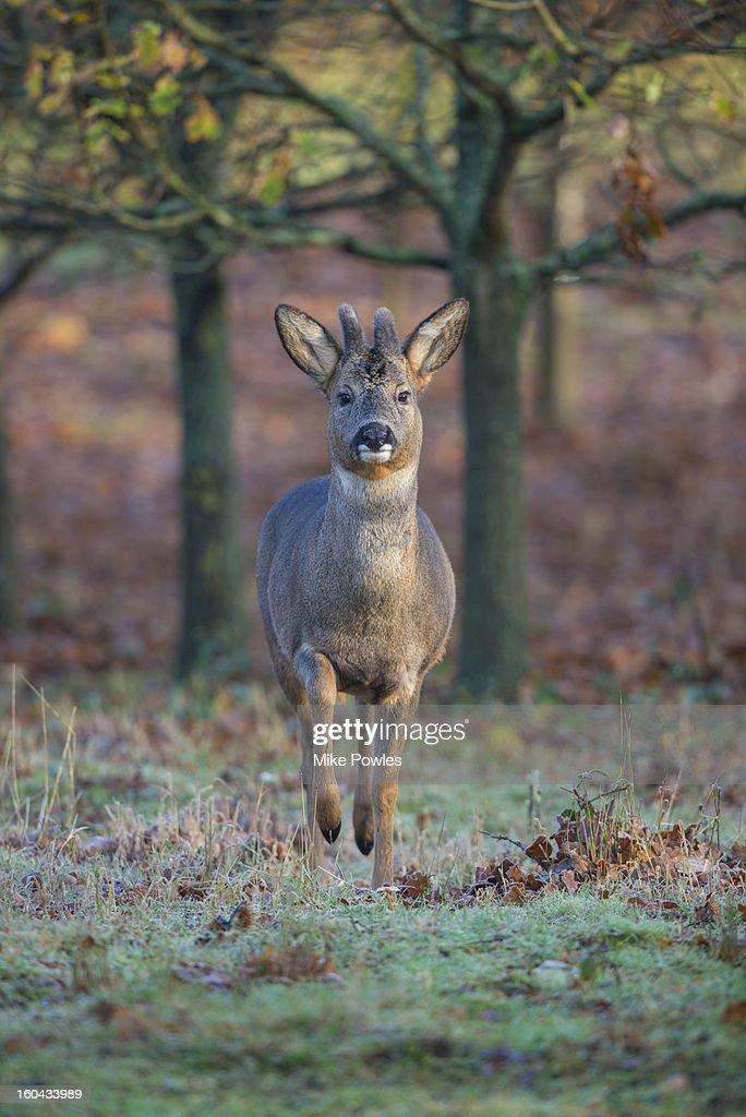 Roe Deer, male in velvet in woodland, Norfolk : Stock Photo