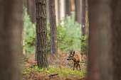 Roe Deer in a pine forest