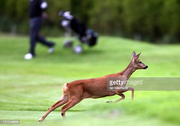 Roe Deer runs across the first fairway during the Regional Qualifier of the Skins PGA Fourball championship at Musselburgh Golf Club on August 16...