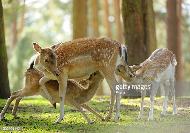 Capriolo Porcellino due fawns