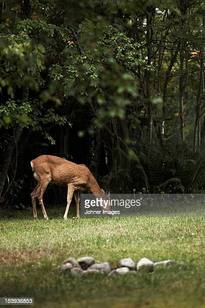 A roe deer, Sweden.
