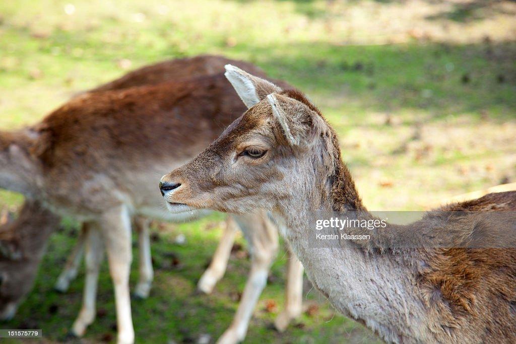 Roe deers in wilderness : Stock Photo