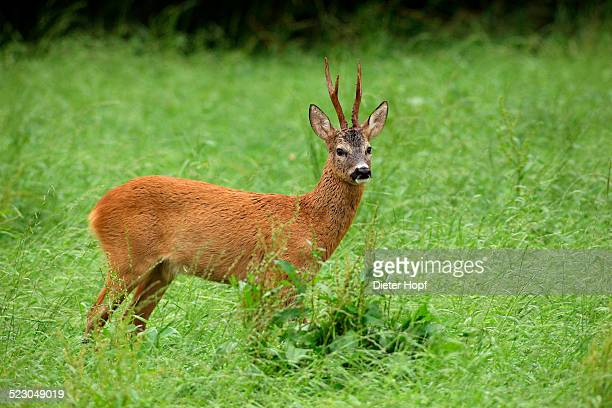Roebuck -Capreolus capreolus- in the red summer coat, Allgaeu, Bavaria, Germany, Europe