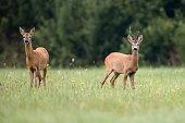 Roe-deer with buck deer in a clearing