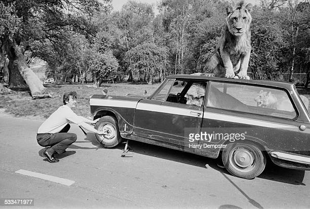 Roger Frampton mends a punctured tire on his car inside the lion enclosure at Windsor Safari Park Berkshire 1972