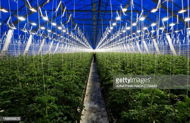 Roger Nilsson a farmer at the Nybyn village north of Lulea in Swedish Lapland checks out the tomatoes in his greenhouse on November 18 2012 AFP...