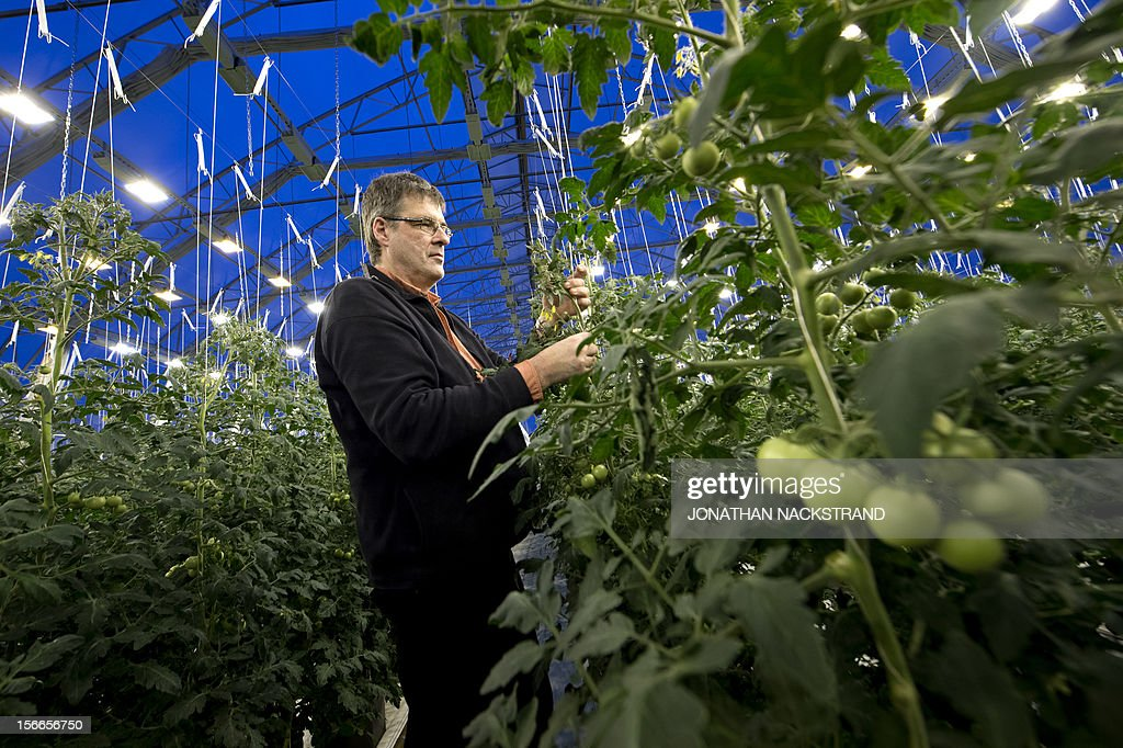 Roger Nilsson, a farmer at the Nybyn village, north of Lulea, in Swedish Lapland, checks out the tomatoes in his greenhouse on November 18, 2012. AFP PHOTO/JONATHAN NACKSTRAND