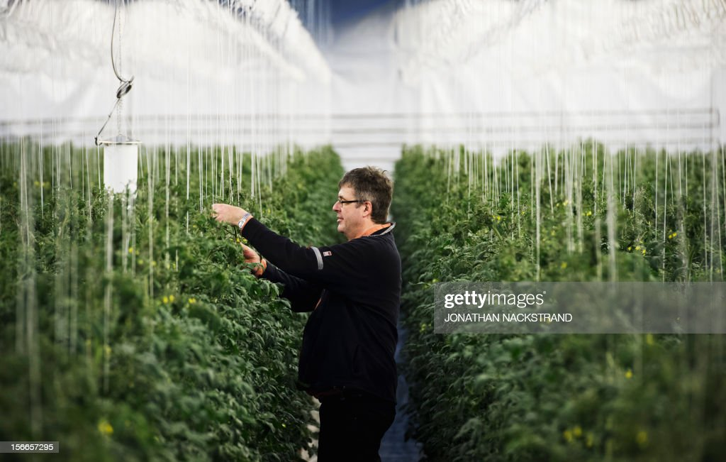 Roger Nilsson, a farmer at the Nybyn village, north of Lulea, in Swedish Lapland checks out the tomatoes in his greenhouse on November 18, 2012. AFP PHOTO/JONATHAN NACKSTRAND