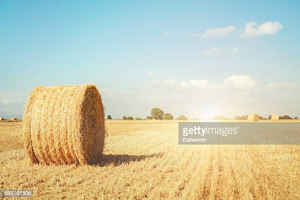 Roll of straw on the field