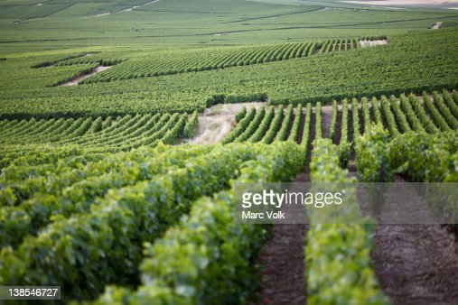 Rolling hills of a vineyard