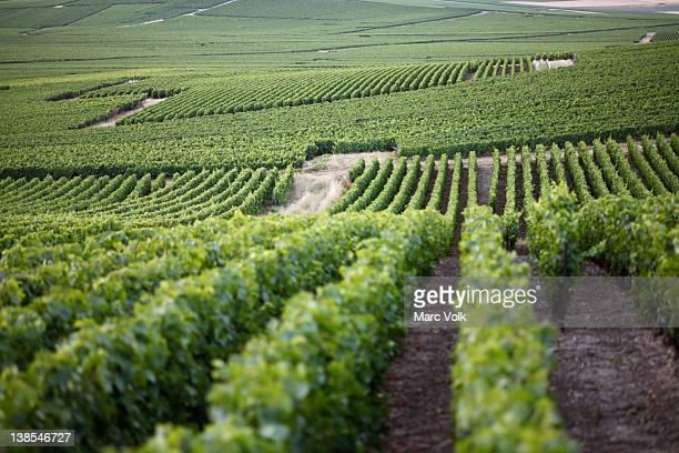 Rolling hills of a vineyard