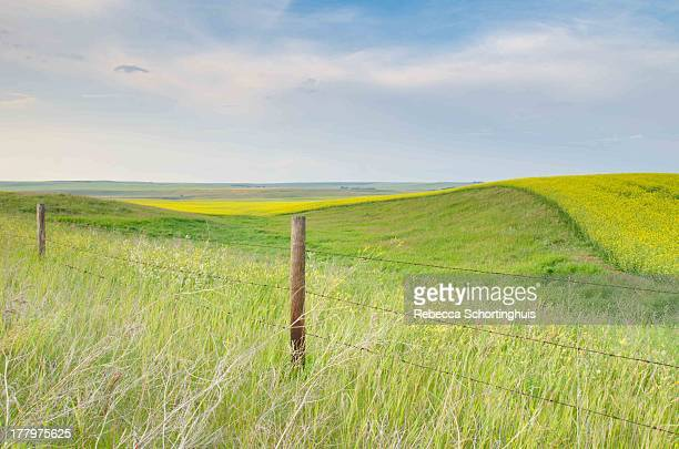 Rolling prairie fields of canola and grass