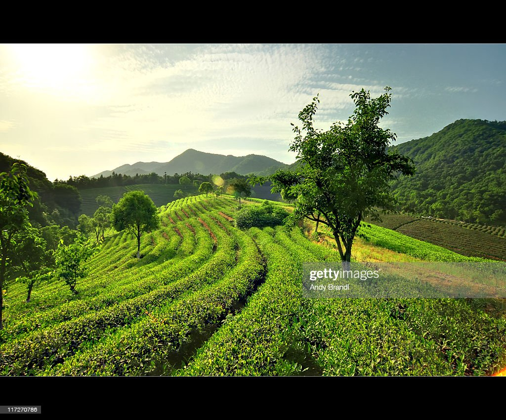 Rolling Tea Fields (Rural China) : Stock Photo