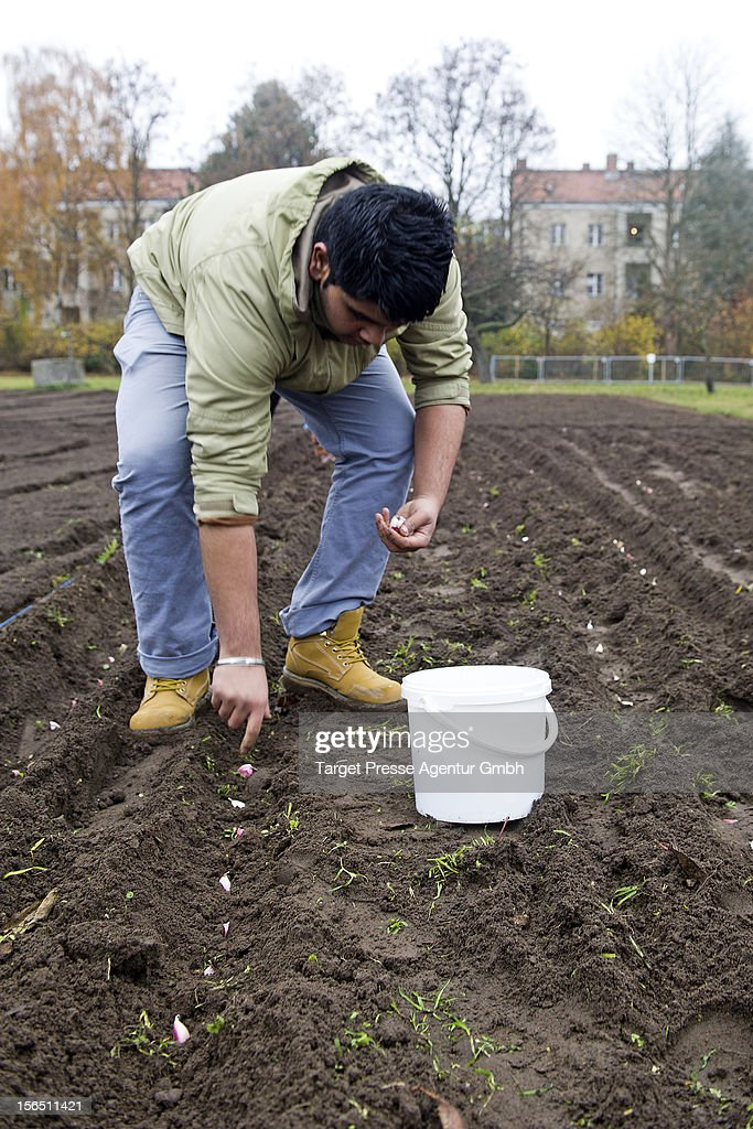 A Roma boy plants garlic as part of the 'Bio Knoblauch Romanes' ('Organic Garlic Romanes') project at the August-Heyn gardening school on November 16, 2012 in Berlin, Germany. The project has been launched by cities across Central and Eastern Europe in an effort to create opportunity for European Roma, many of whom are unemployed and live in poverty. Europe imports the vast majority of its organic garlic from China, and initiators hope the project will fill both a need for opportunity and a market niche.
