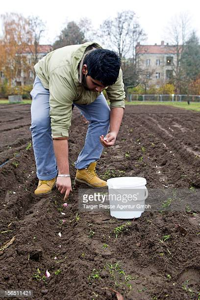 Roma boy plants garlic as part of the 'Bio Knoblauch Romanes' project at the AugustHeyn gardening school on November 16 2012 in Berlin Germany The...